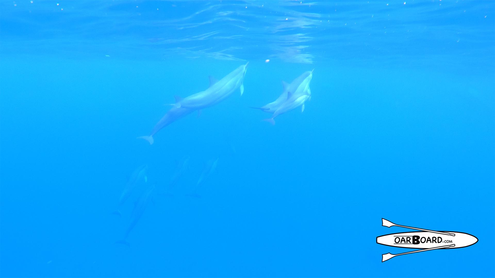 Spinner-Dolphins-Under-Water-Oar-Board-Rowing